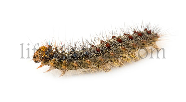 Gypsy moth caterpillar - Lymantria dispar