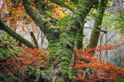 Mossy tree trunk in misty autumn woodland