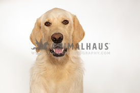 Cute yellow lab dog isolated on white background