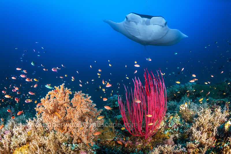 Reefscape and oceanic manta ray.