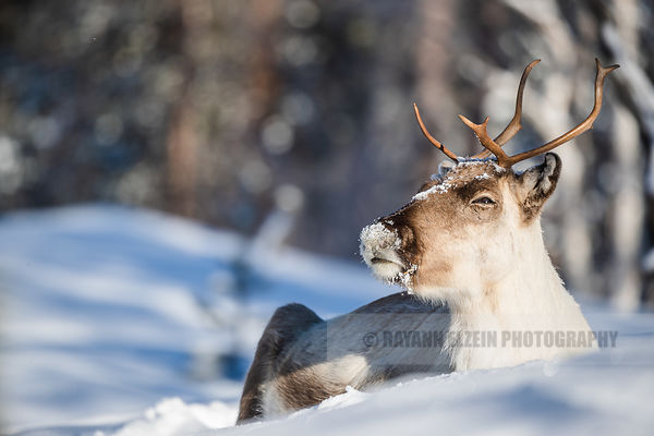 Reindeer taking a sunbath in the snow in Finnish Lapland