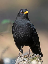 Blackbird Turdus merula male in garden Norfolk winter