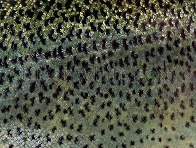 Close-up of rainbow trout scales