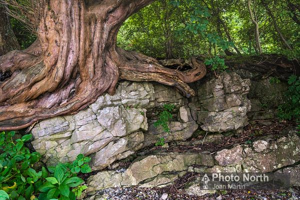 YEW 02A - Yew roots