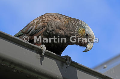 Opportunistic South Island & Stewart Island Kaka (Nestor meridionalis ssp meridionalis) leaning over a house gutter on the lo...