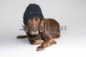 chocolate lab wearing black hat