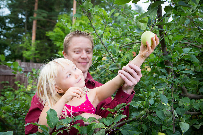 Tyttö kurottaa omenaa puusta isän sylissä|||Girl trying to reach an apple from the tree with the help of her father