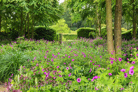 Geranium psilostemon in The Katsura Grove - Cercidiphyllum japonicum - at Scampston Hall Walled Garden, North Yorkshire, desi...