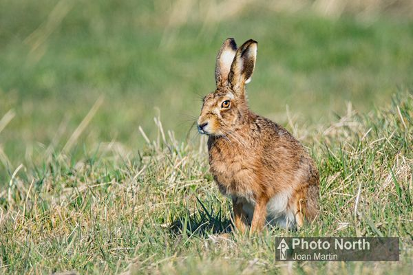 HARE 01B - Brown hare
