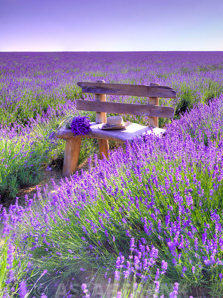 Bench in Lavender field