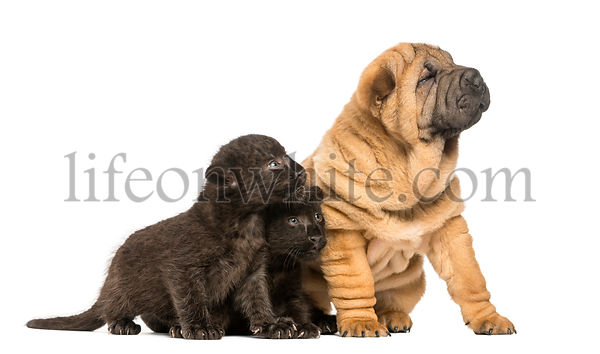 Shar pei puppy and two Black Leopard cubs sitting and looking away,  isolated on white