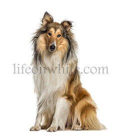 Collie sitting, isolated on white