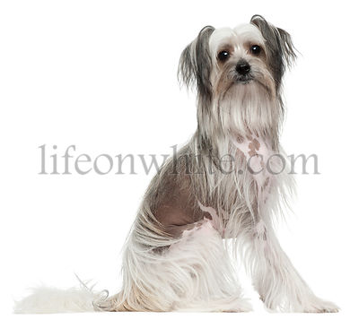 Chinese Crested Dog, 11 months old, sitting in front of white background