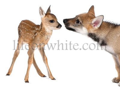 interplay between roe deer Fawn and Eurasian Wolf