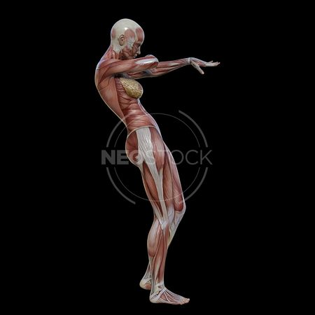 cg-body-pack-female-muscle-map-neostock-35