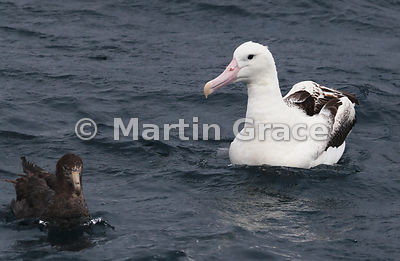 Southern Royal Albatross (Diomedea epomophora) on the water, with Northern Giant Petrel (Macronectes halli) (left), Kaikoura,...