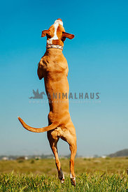 A bully breed dog jumping straight up in an open field