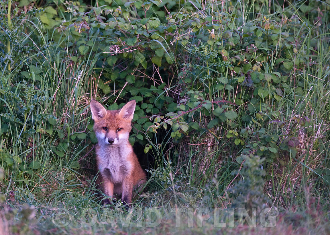 Fox Vulpes vulpes cub North Norfolk June