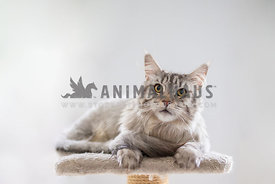 Norwegian forest cat sitting on a cat tree with a white background