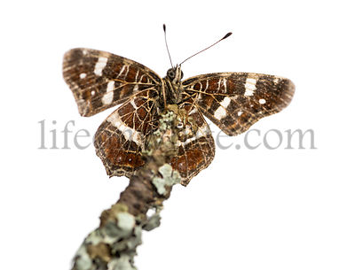 Map butterfly on a branch viewed from below, Araschnia levana, isolated on white