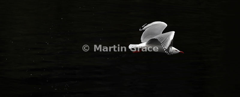 High-contrast image of a Red-Billed Gull (Larus novaehollandiae scopulinus) in flight leaving a night sky of water droplets b...