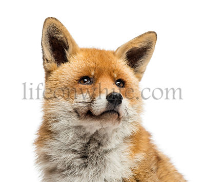 Close-up of a Red fox looking up, Vulpes vulpes, isolated on white