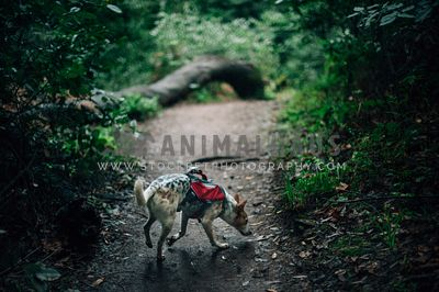 A dog wearing a backpack sniffing down a forest trail