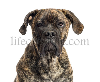 Close-up of a Cane Corso, 8 months old, isolated on white
