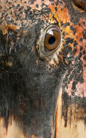 Close up of Marabou Stork, Leptoptilos crumeniferus, 1 year old