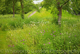 Meadow of wildflowers and grasses planted under Prunus x yedoensis - Yoshino cherry trees, surrounding The Mount at Scampston...