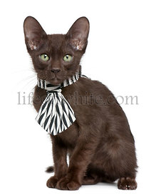 Havana Brown kitten wearing black and white tie, 15 weeks old, sitting in front of white background