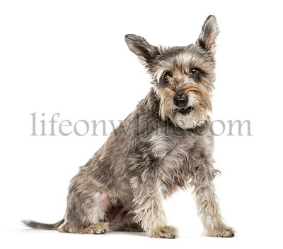 Miniature Schnauzer sitting in front of white background
