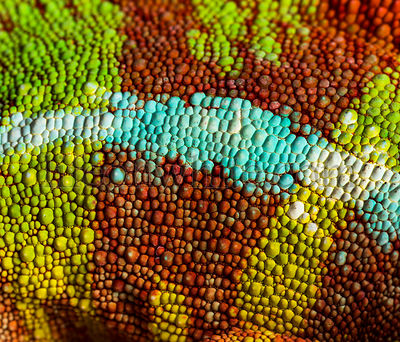 Panther chameleon, Furcifer pardalis, in close up against white background