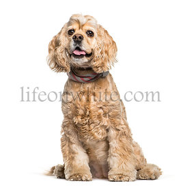 American Cocker Spaniel sitting in front of white background