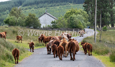 Herd of Luing cattle walking away down a rural country lane in Scotland, UK.