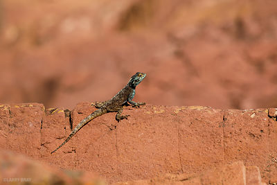 Lizard, Hout Bay, Cape Town, South Africa