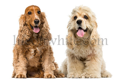 English Cocker Spaniel and American cocker spaniel sitting