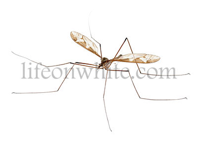 Crane fly or daddy long-legs, Tipula maxima, in front of white background