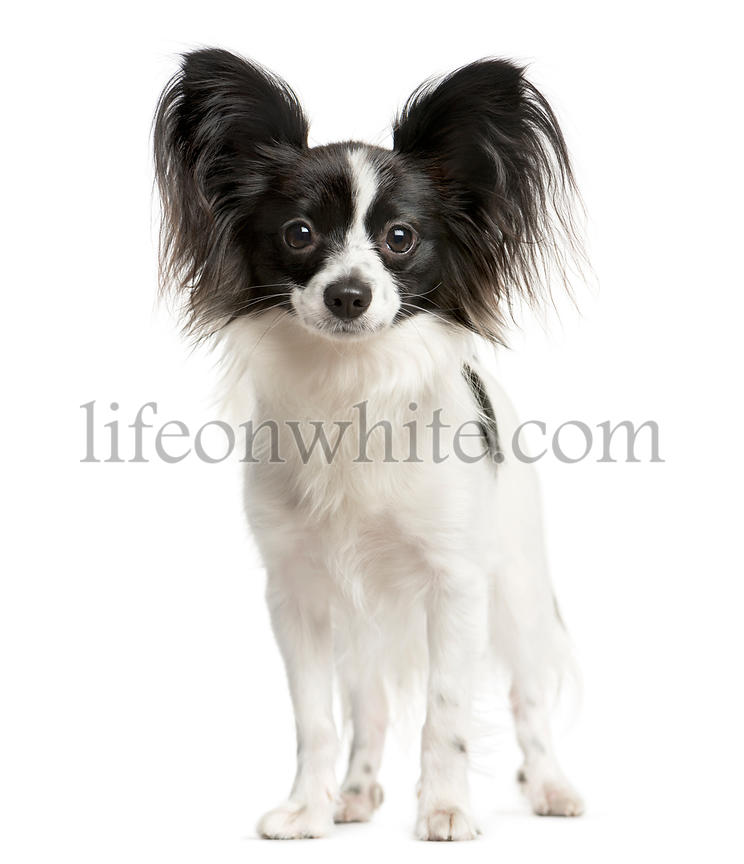 Papillon standing in front of a white background
