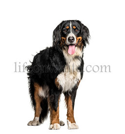 Bernese Mountain Dog, 1 year old, in front of white background