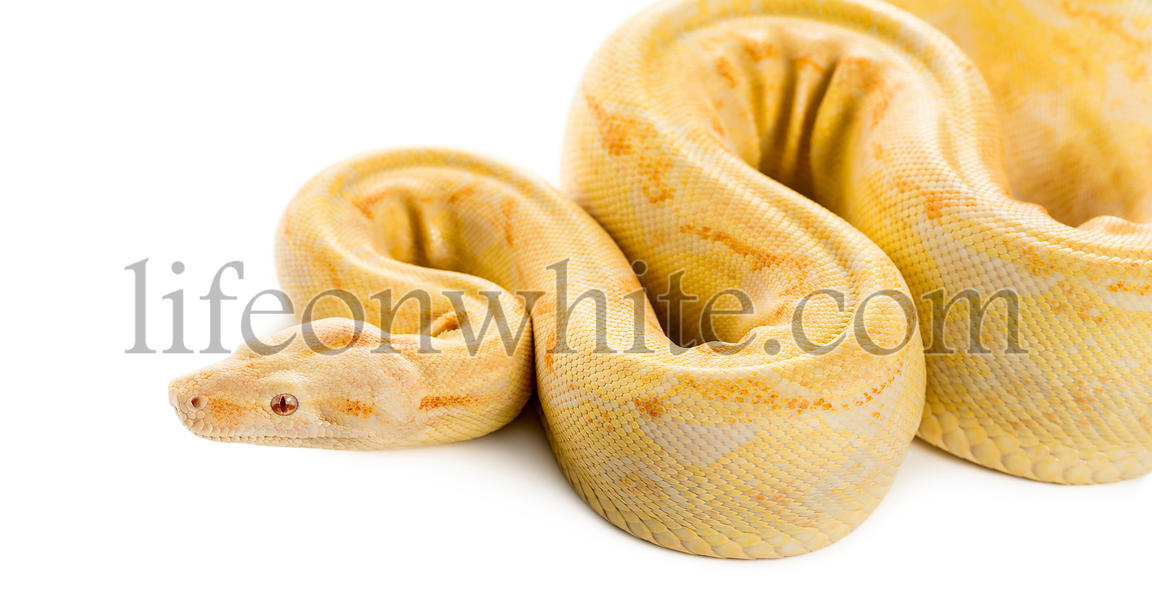 Albino royal python in front of a white background