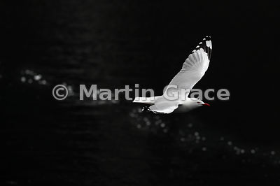 Red-Billed Gull (Larus novaehollandiae scopulinus) flies over out-of-focus coruscations on the surface of the water below, Do...