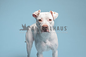 close up of white pit bull looking at camera