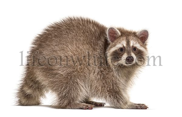 Side view of adult Red Raccoon looking at camera, isolated