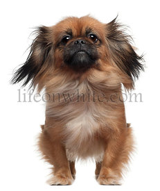 Pekingese, 2 and a half years old, standing in front of white background with windblown hair
