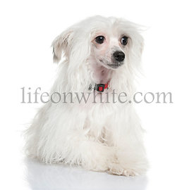 Chinese Crested Dog - Powderpuff (5 months)