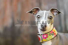 Italian greyhound in flower collar looking at the camera
