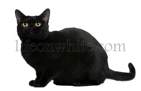 Bombay cat, 8 months old, sitting in front of white background