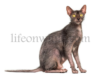 Lykoi cat, also called the Werewolf cat against white background