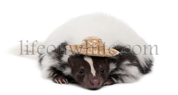Striped Skunk, Mephitis Mephitis, 5 years old, wearing a hat in front of white background
